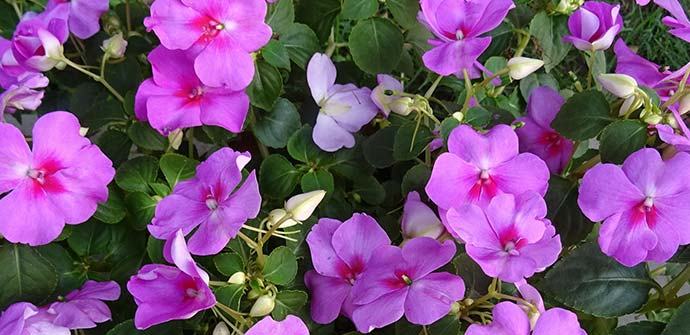 One of the most popular annua fowers in Lakeland, FL is Impatiens.